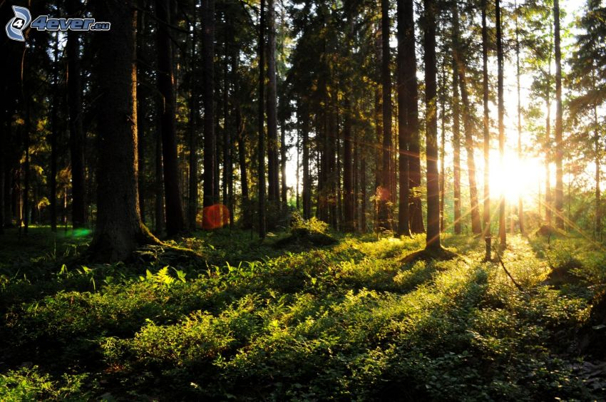 Sonnenuntergang im Wald, Sonnenstrahlen