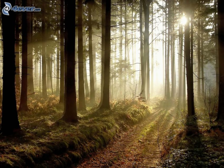 Sonnenuntergang im Wald, Waldweg
