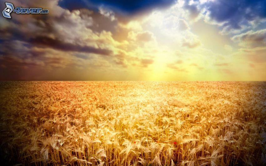 Sonnenuntergang über dem Feld, Getreidefeld, Weizenfeld, Himmel