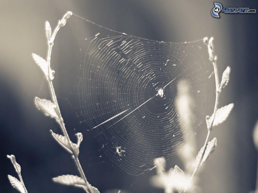Spinnennetz, Schwarzweiß Foto