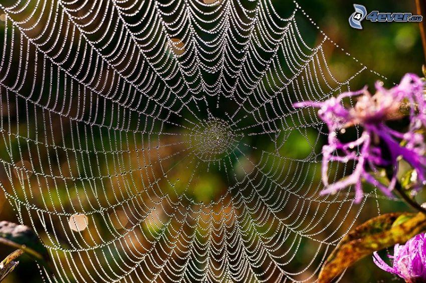 taufrische Spinnwebe, lila Blumen
