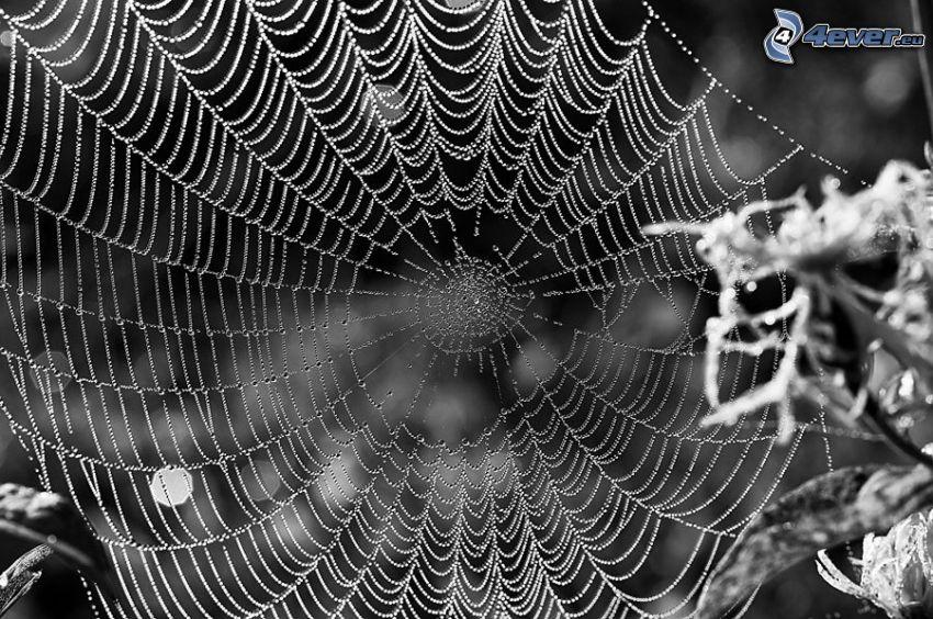 taufrische Spinnwebe, schwarzweiß