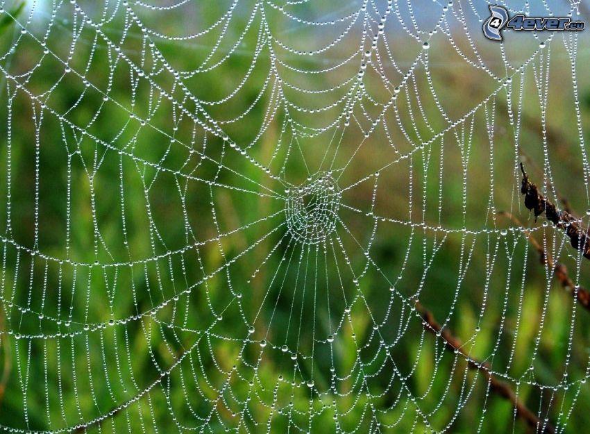 taufrische Spinnwebe