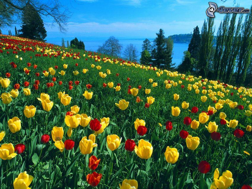 Tulpen, Wiese