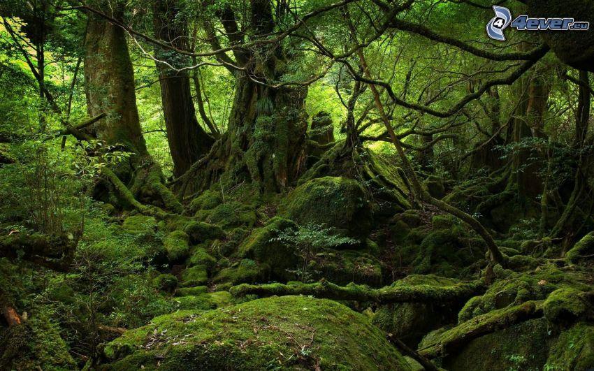 Urwald, Bäume, Moos, Grün