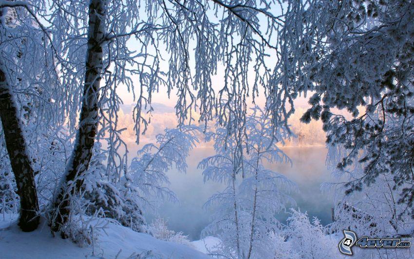 verschneite Bäume, gefroren