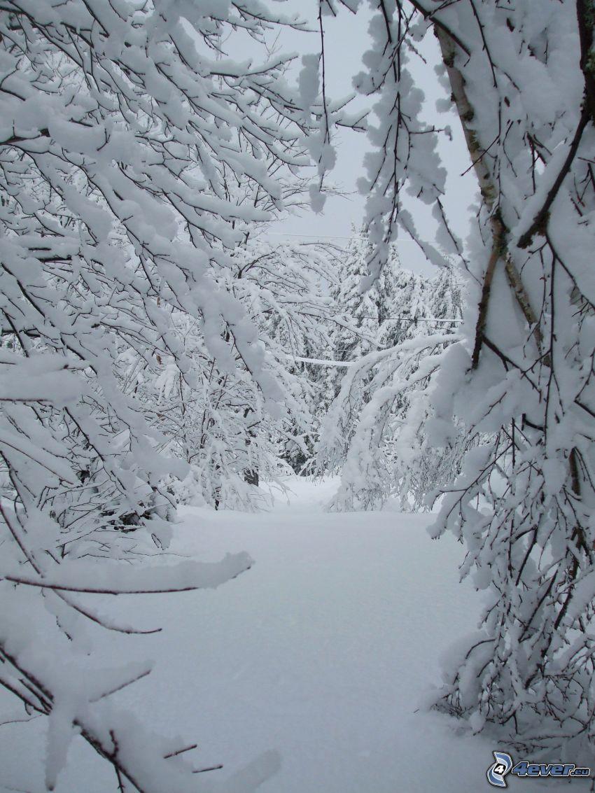 verschneite Bäume, Schnee