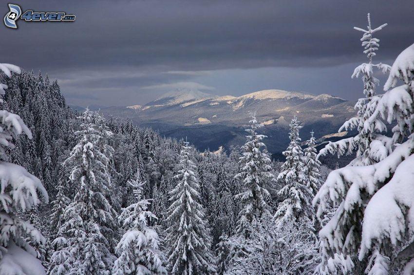verschneiter Nadelwald, schneebedeckte Berge