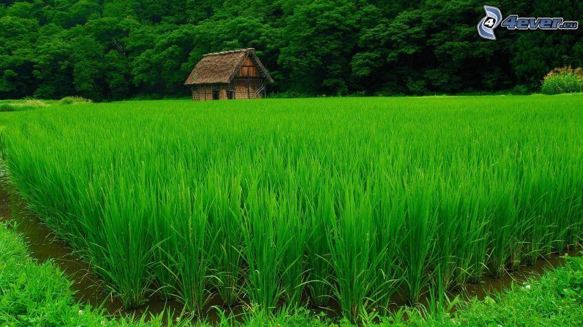 Vietnamesische Reisfelder, Hütte, Wald, Grün