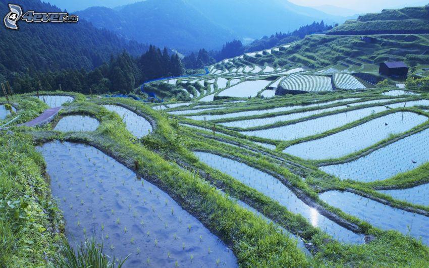 Vietnamesische Reisfelder