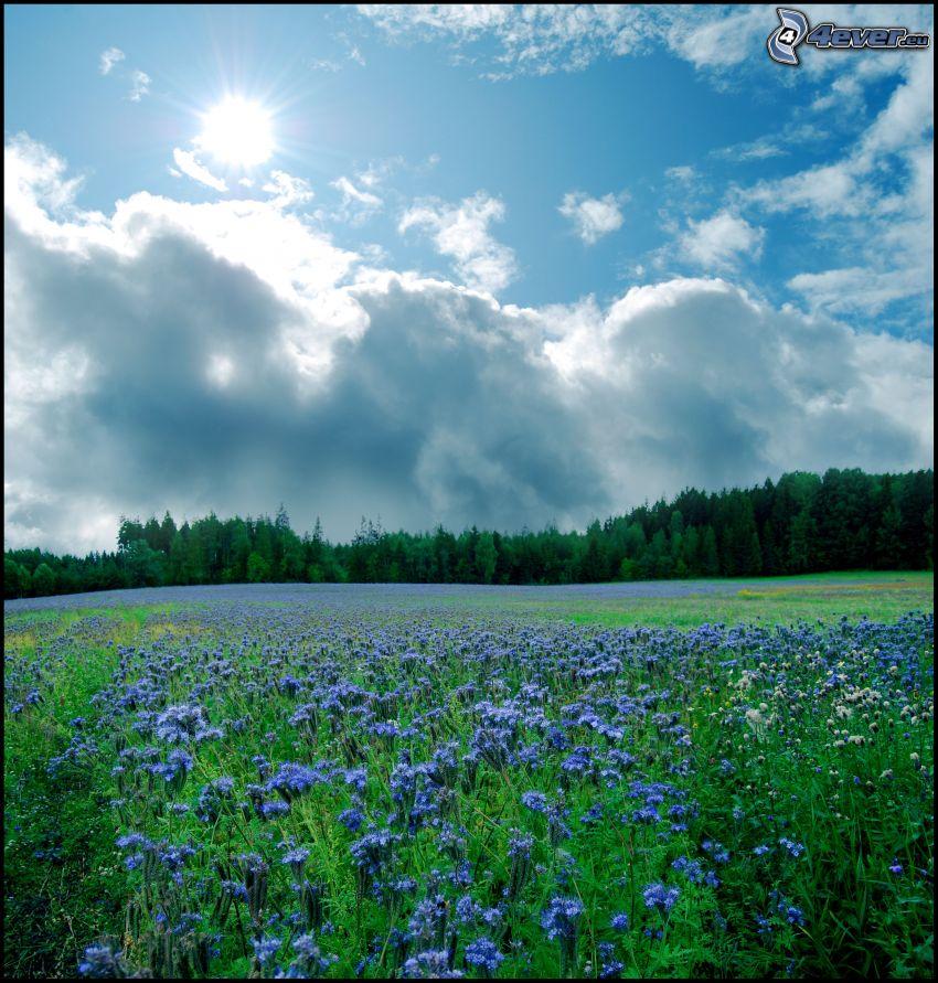 Wald, lila Pflanzen, Wolken, Wiese, Sonne