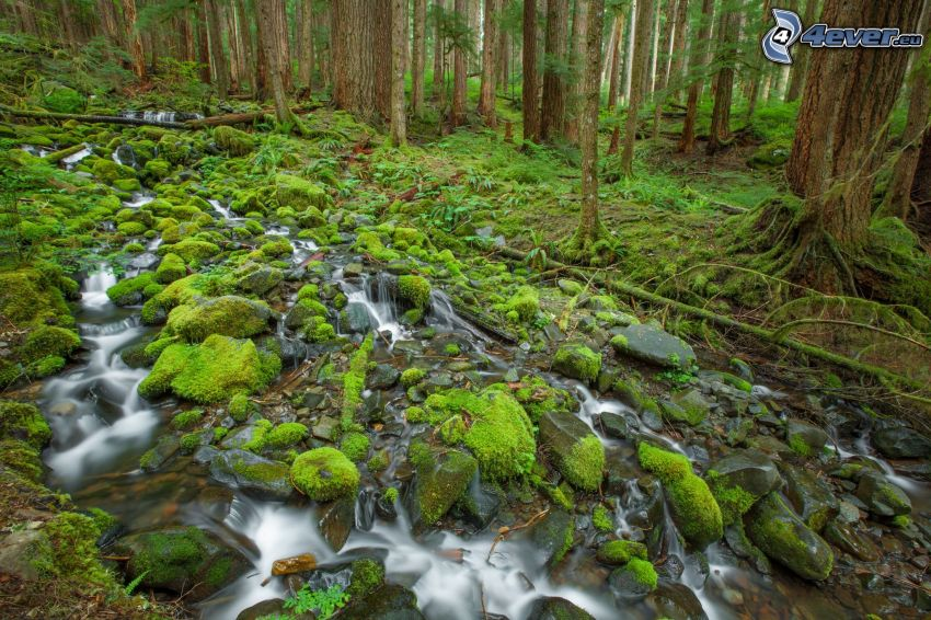 Wald, Moos, Wildbach, Grün