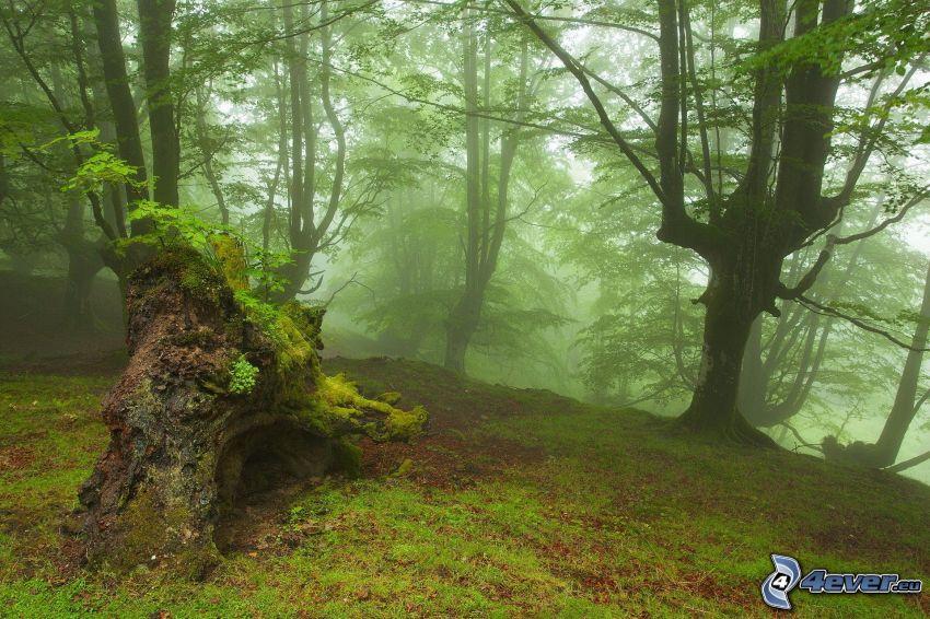 Wald, Nebel, Moos