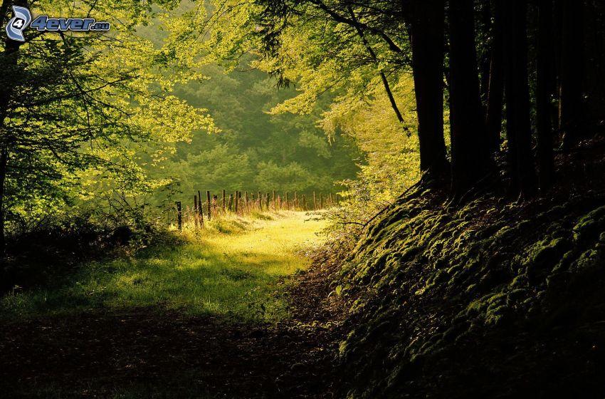 Wald, Pfad durch den Wald, Bäume, Grün