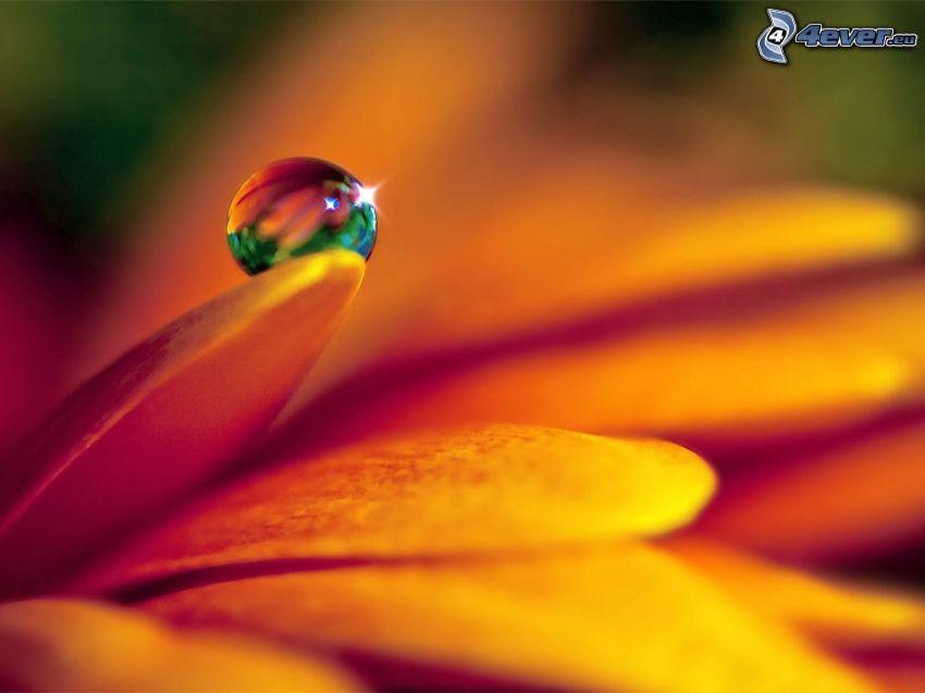Wassertropfen, Blütenblatt