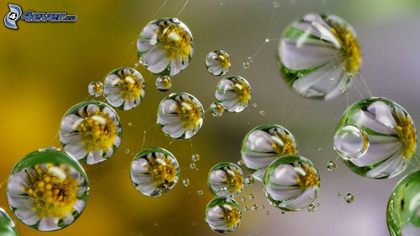 Wassertropfen, Gänseblümchen