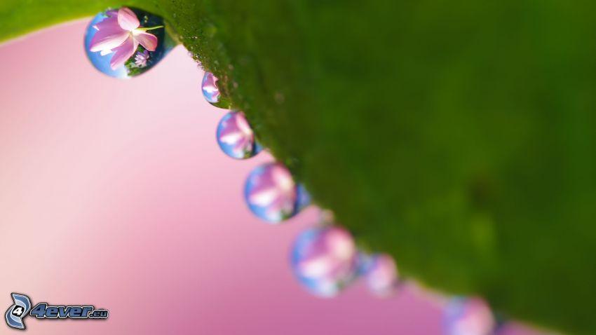 Wassertropfen, rosa Blume