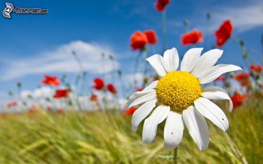 weiße Blume, Wiese, Klatschrose