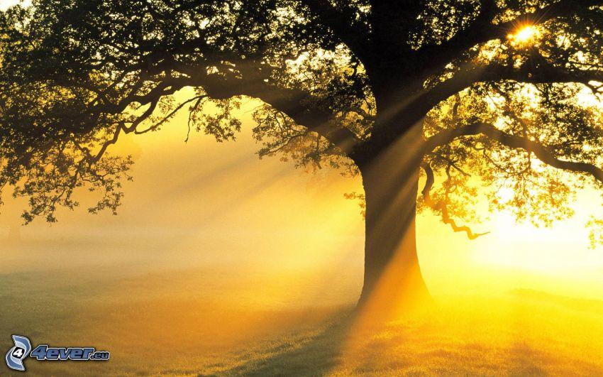 weitausladender Baum, Silhouette des Baumes, Sonnenstrahlen