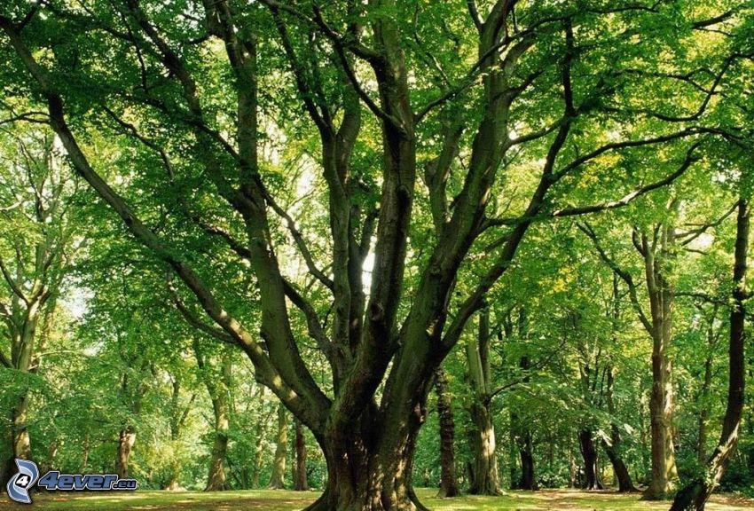 weitausladender Baum, Wald