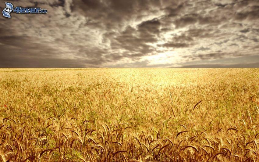 Weizenfeld, Getreidefeld, dunkle Wolken