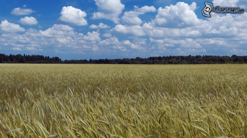 Weizenfeld, Wolken