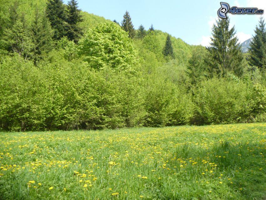 Wiese, Löwenzahn, Wald
