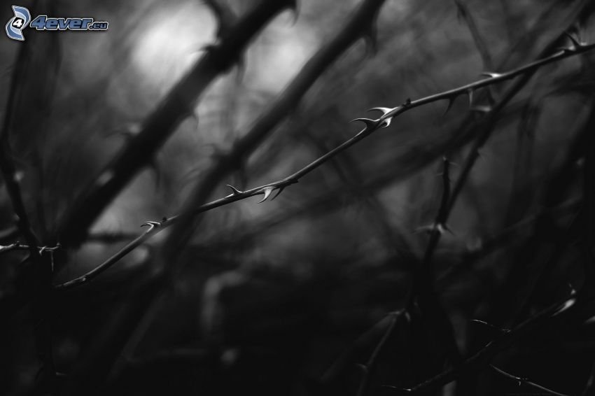 Zweig, Stacheln, schwarzweiß