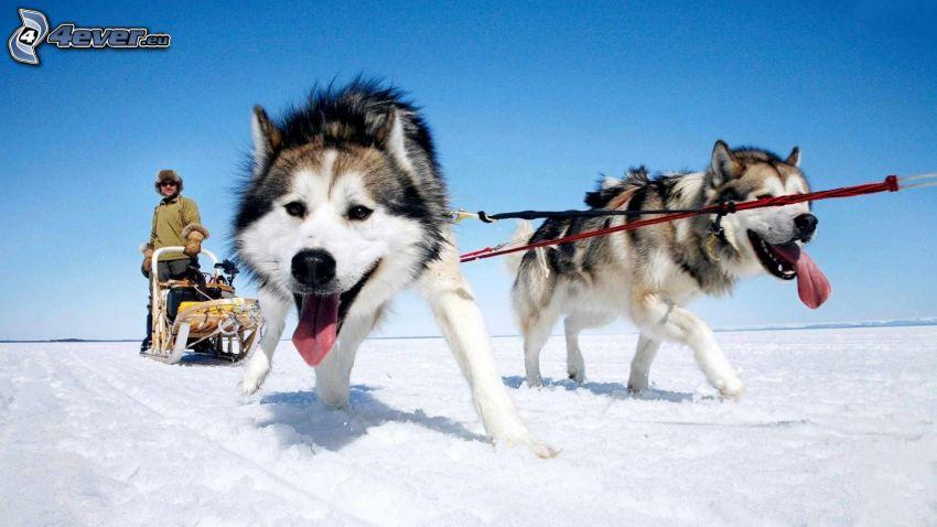 Hundeschlitten, Siberian Husky, hängende Zunge