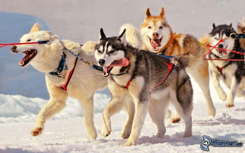 Hundeschlitten, Siberian Husky
