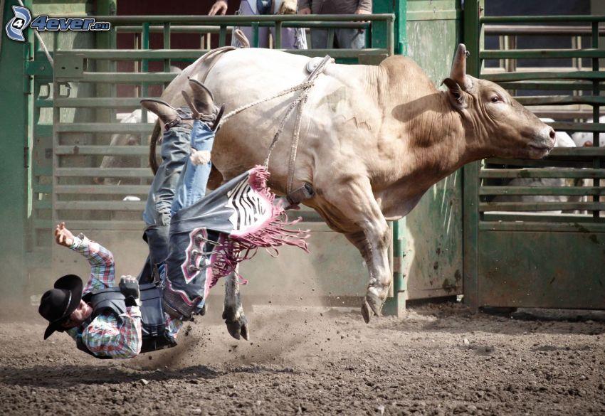 Rodeo, Stier