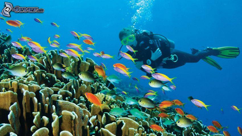 Taucher, Fischschwarm, Korallen