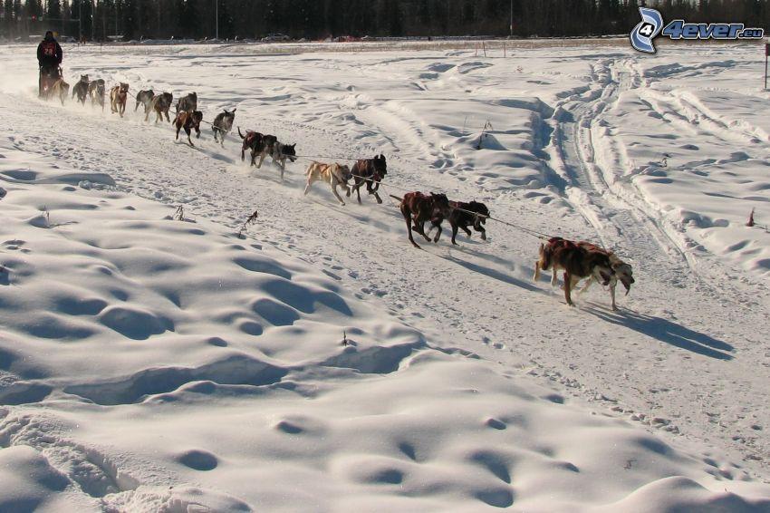 Hundeschlitten, Rennen, Schnee, Alaska