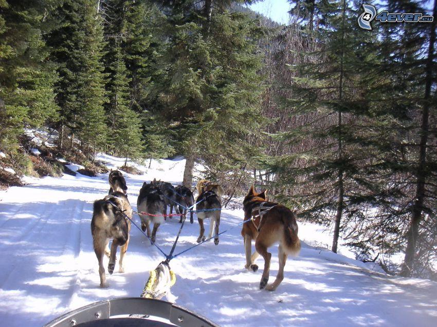 Hundeschlitten, Rennen