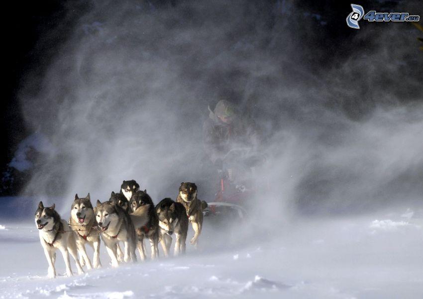 Hundeschlitten, Siberian Husky, Rennen