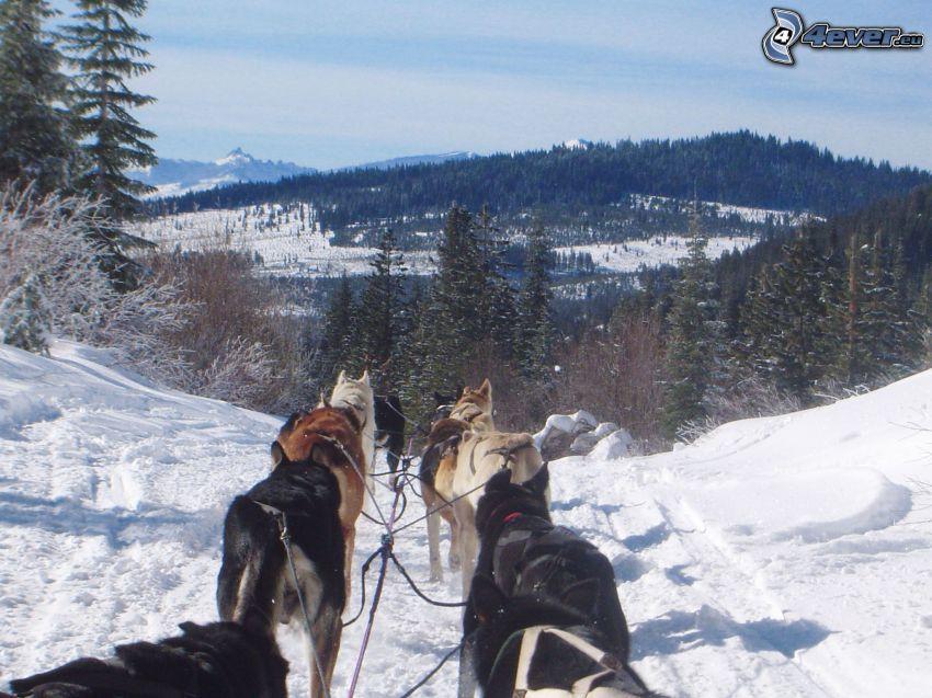 Hundeschlitten im Wald, Aussicht