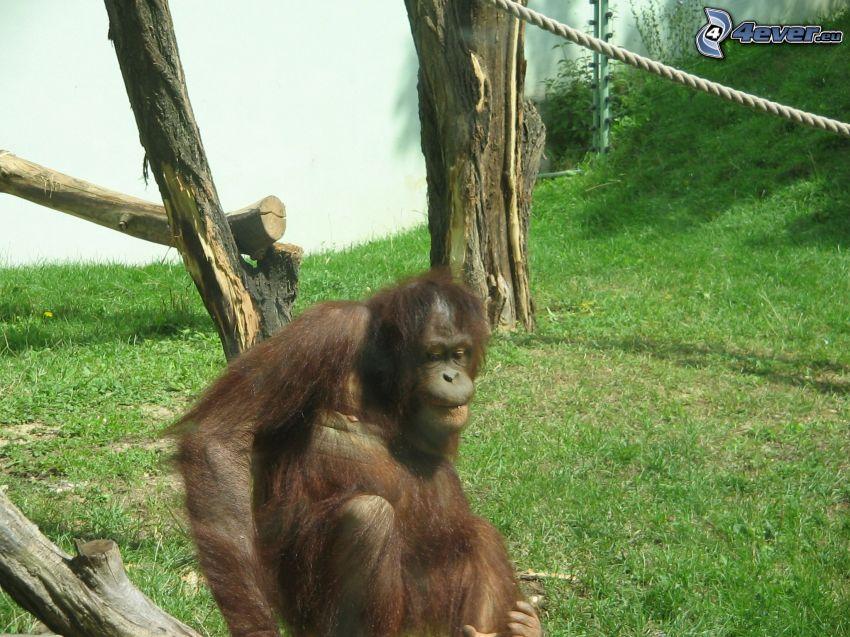 Affe, Schimpansen