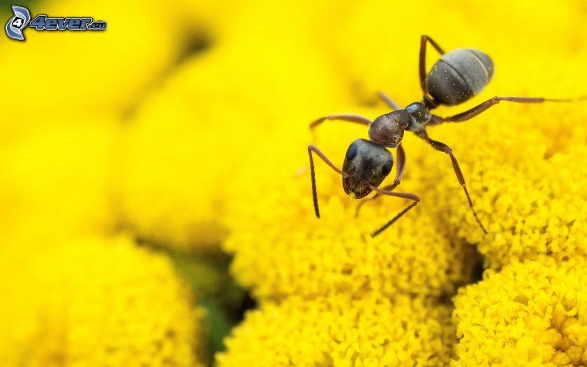 Ameise, gelbe Blumen