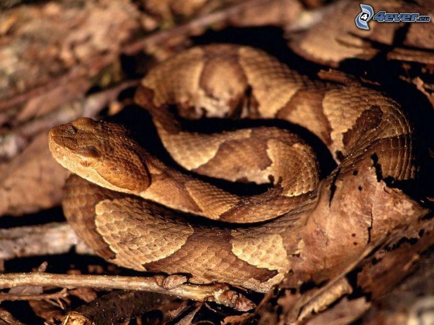 braune Schlange, trockene Blätter