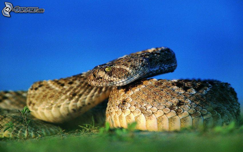 braune Schlange