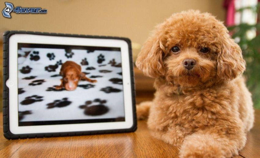 brauner Hund, Foto