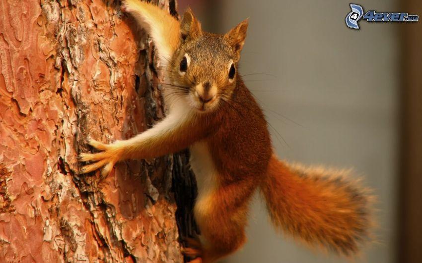 Eichhörnchen auf dem Baum, Baumrinde