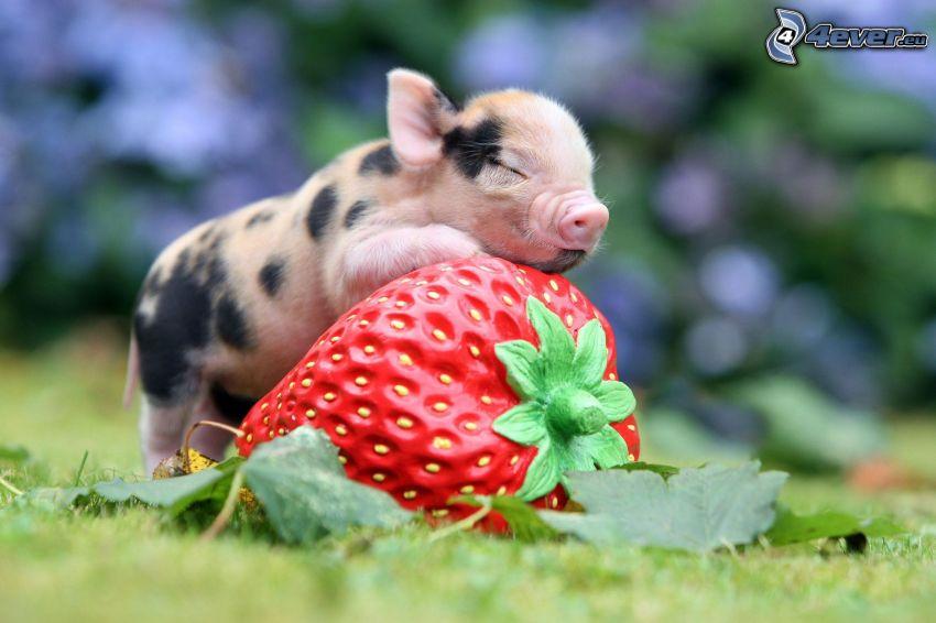 Ferkel, Schlafen, Erdbeere