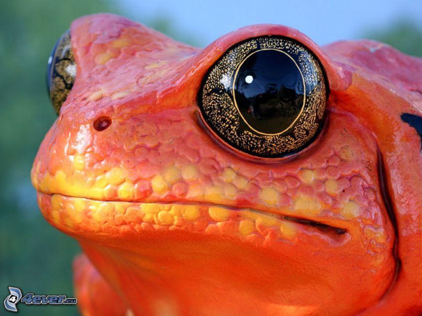 Frosch, Augen, rot