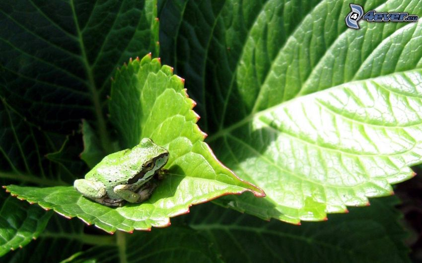 Frosch, Blätter