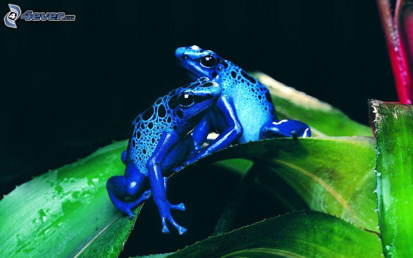 Frösche, blue Frog, Blätter