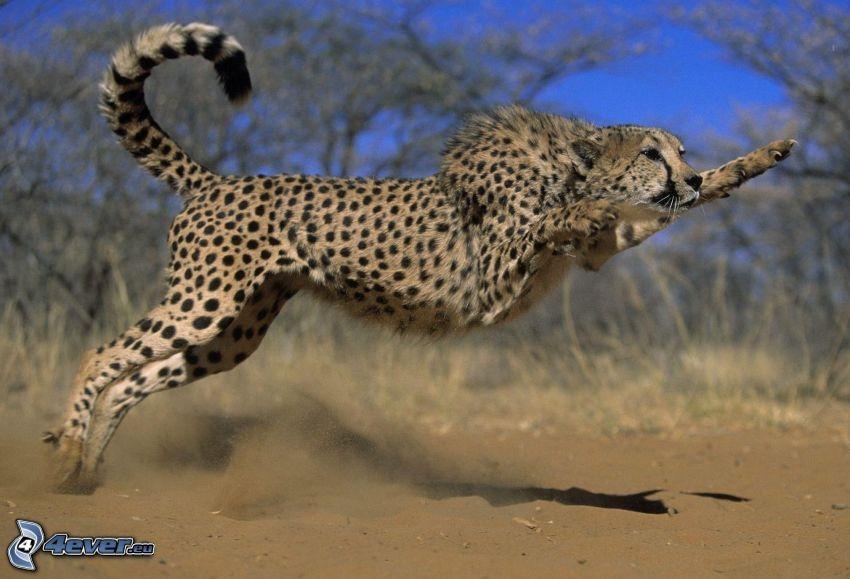 Gepard, Sprung, Staub