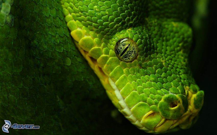 grüne Schlange, grünes Auge