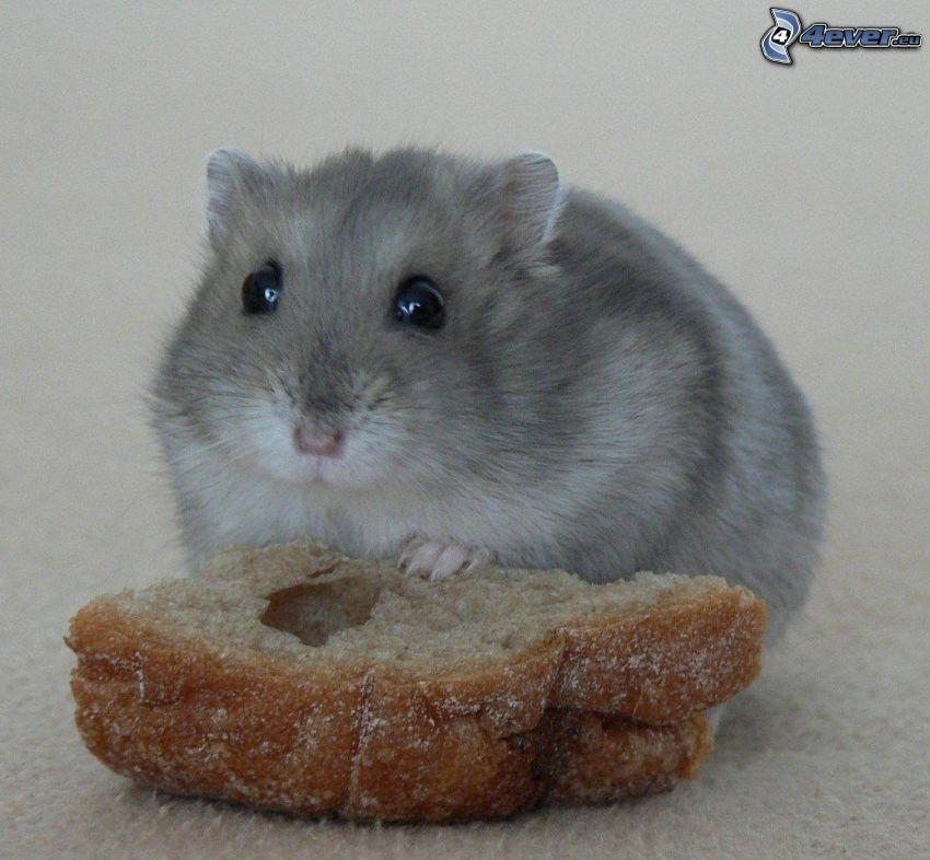 Hamster, Brot, Nagetier