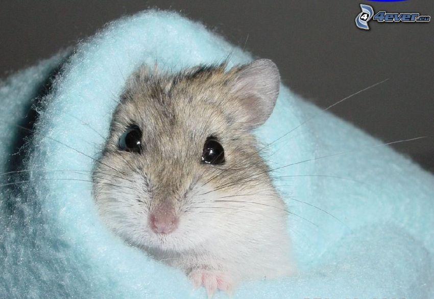 Hamster, Decke